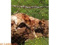 Perros perdidos  España  Las Palmas - Gran Canaria  Vega de San Mateo March 05 2018 at 07:44PM   GRAN CANARIA  #PERDIDO #ENCONTRADO  Contacto y Info: https://leales.org/perdidos-o-encontrados/perros-perdidos/gran-canaria_i3603 #Difunde en #LealesOrg un #adopta y sé #acogida para #AdoptaNoCompres O un #SeBusca de #perro o #gatos ℹ Esta pastor Garafiano se perdió anoche en San Mateo. Tiene chip. Por favor si la ves llama al teléfono 608 65 66 04 En todos los navegadores: Leales.org y en todas…