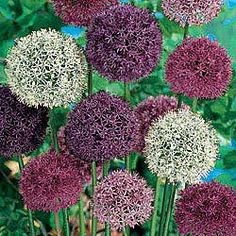 Allium - Need to order these to plant in the fall