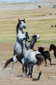 Wild horses`fighting, rearing up, in wide open grassy plain. Gorgeous silver, grey and black horses.