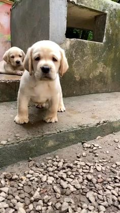 Super Cute Puppies, Cute Dogs And Puppies, Baby Dogs, Adorable Puppies, Lab Puppies, Doggies, Cute Animal Memes, Funny Animal Videos, Cute Funny Animals