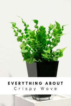 Everything About Crispy Wave: A Natural Air Purifier japanese asplenium nidus fern plant care plant Begonia, Houseplants Safe For Cats, Ferns Care, Natural Air Purifier, Easy House Plants, Air Cleaning Plants, Best Indoor Plants, Indoor Herbs, Japanese Indoor Plants
