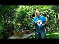 Cultivar limoneros en maceta verano 2016 - YouTube
