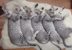 Silver Egyptian Mau Cats