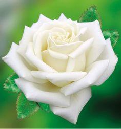 Polarstern 2019 Polarstern Mehr The post Polarstern 2019 appeared first on Flowers Decor. Beautiful Rose Flowers, Pretty Roses, Exotic Flowers, Love Flowers, My Flower, White Flowers, Flower Power, Wedding Flowers, Cactus Flower
