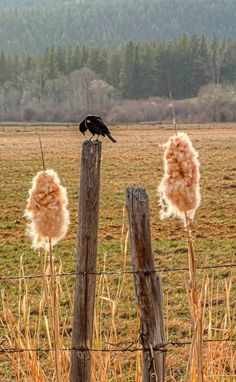 riding home from texas back thru the south seeing redwing blackbirds on fence posts all the way. welcoming me home