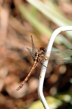 Dragon fly by cscott2006, via Flickr