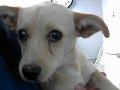 This DOG-ID#A469608  I am a female, tan Chihuahua - Smooth Coated. Shelter staff think I am about 4 months old. I have been at the shelter since Jul 22, 2014.  If you are my owner, you must physically come to the shelter to claim me. We are located at 333 Chandler Place, San Bernardino, CA 92408. Our Lost & Found hours are Tuesday-Saturday 10:00 am to 5 pm.