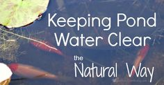 How to keep pond water clear naturally, without using expensive chemicals. Follow these simple steps for natural (and cheap) garden pond algae removal.