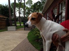 Lost Dog - Jack Russell Terrier - League City, TX, United States 77573