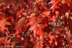 dąb czerwony - Quercus rubra   Katalog roślin - e-katalog roślin
