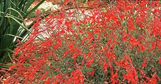 EPILOBIUM CANUM 'CALIFORNIA FUCHSIA' Planted: 1, Spring 2011. Small Year 1. Hope it grows more Yr 2.