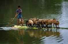 Schön still halten: Ein Junge transportiert seine Schafe auf einem Floß über...