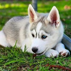 Siberian Husky puppy. I really like the two different colored eyes.