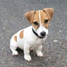 Zacky, Jack Russell Terrier