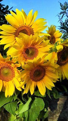 lovely Sunflower Garden, Sunflower Art, Sunflower Fields, Yellow Sunflower, Growing Sunflowers, Sunflowers And Daisies, Flowers Nature, Beautiful Flowers, Sun Flowers