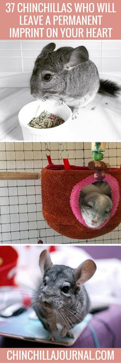 Adorable Chinchillas Who Will Make You Smile From Ear To Ear - 29 adorable animals that will leave you smiling for the rest of the day