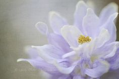 Vintage Aquilegia  by Jacky Parker Floral Art