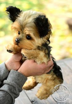 Yorkshire terrier - energetic and affectionate dog love йорк Cute Puppies, Cute Dogs, Dogs And Puppies, Puppies Tips, Fluffy Puppies, Small Puppies, Dog Tricks, Cavalier King Charles Spaniel, Top Dog Breeds