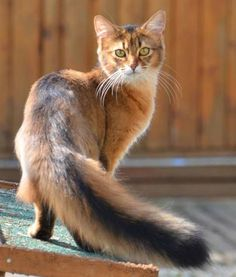 Most Popular Long Haired Cat Breeds – Samoreals Somali Cats Pretty Cats, Beautiful Cats, Animals Beautiful, Cute Animals, Pretty Kitty, Beautiful Cat Breeds, Cute Kittens, Cats And Kittens, Tabby Cats