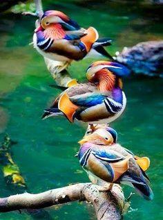 Cuando lo vi me sorprendí...(Patos de Mongolia). No es casualidad, es diseños de Nuestro Creador. Jehová Dios. - Cristian Lopez - Google+