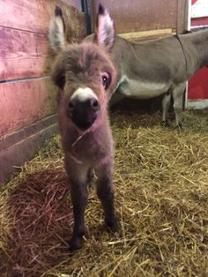 Baby donkey my valentine! Baby Donkey, Cute Donkey, Mini Donkey, Animals For Kids, Cute Baby Animals, Animals And Pets, Funny Animals, Small Animals, Miniature Donkey