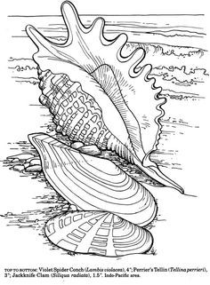 Dover Publications Shells of the World Coloring Book. Loved these coloring books for years. When doodling alone is not therapeutic or inspiring, try a bunch of colored pencils and an intricate dover coloring book. Coloring Book Pages, Printable Coloring Pages, Coloring Sheets, Coloring Pages Nature, Beach Coloring Pages, Mandala Coloring, Dover Publications, Coloring For Kids, Free Coloring