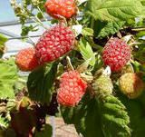 How to Grow Loganberries  A guide to growing Loganberries in gardens, allotments and