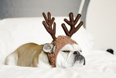 English Bulldog...er Reindeer. ;)