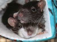 A pet rat should be kept with at least one other cage mate of the same gender.