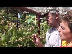 Уход за плодоносящими кустами винограда: третий год - YouTube