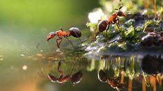 La hormiga bulldog puede alcanzar los 3 centímetros de longitud, y su agresividad la convierte en la... - Externa