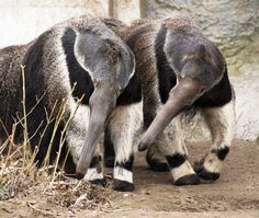 Three female giant anteaters can be found in the American Grasslands at the Detroit Zoo.  Chesley came to the Zoo in 1997 and gave birth to Raya in 1999.  Bissell, Chesley's great-granddaughter, arrived at the Zoo in 2009.