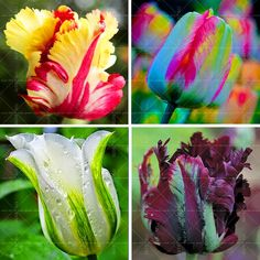 100PCS Tulip seeds,Tulip agesneriana,aromatic Flower seeds potted plants Most Beautiful Colorful Tulip Plants Perennial Garden
