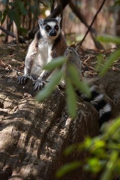 Ring Tailed Lemur (Lemmur catta)- © Inaki Caperochipi Photography