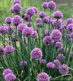 Flowering Chives - Allium schoenoprasum loves all soil Edible Plants, All Plants, Partial Shade Perennials, Purple Garlic, Garlic Flower, Allium Schoenoprasum, Hillside Garden, Planting Plan, Garden Borders
