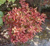 Naturally Native – New Zealand Native Plants - shade and damp tolerant - pseudowintera red glow - horopito