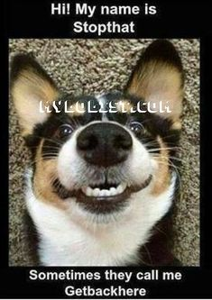 Stopthat funny cute memes animals dog puppy meme lol funny quotes humor funny animals of dog memes Animal Jokes, Funny Animal Memes, Funny Animal Pictures, Cute Funny Animals, Dog Pictures, Funny Dogs, Corgi Funny, Corgi Meme, Humorous Animals