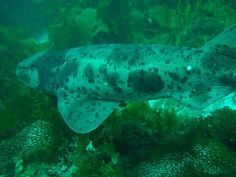 The Australian swellshark or Draughtboard Shark is a species of catshark, family Scyliorhinidae, endemic to southern Australia. This bottom-dwelling species can be found on the continental shelf down to a depth of 220 m (720 ft). Usually measuring  1 m (3 ft) long, it is a stout-bodied , broad-headed shark with a short tail and a first dorsal fin much larger than the second. It can be identified by its variegated dorsal coloration of brown or gray patches and numerous spots