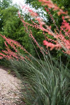 It's colorful, it's heat- and drought- tolerant, and it's ideal for your Texas garden. Read about red yucca and other plants that thrive in summer heat on the blog.