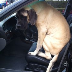 "English Mastiff Puppy!  ""Can I drive mom, please!!!!"" or ""I'm ready for my driving test!"""