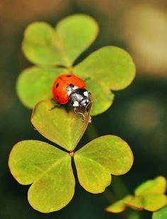 Lady Bug on green Cute Creatures, Beautiful Creatures, Animals Beautiful, Beautiful Bugs, Amazing Nature, Ladybug Art, Cool Bugs, Flower Company, Lucky Charm