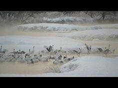 タンチョウの塒 雪裡川 Morning Japanese crane at Setsuri River ( Shot on RED EPIC )