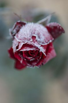 Frozed rose by Kishida Koji