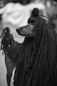 Love this black, corded poodle!