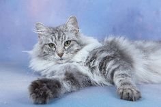 Silver Norwegian Forest Cat