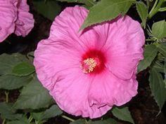 Hibiscus Fantasia 2