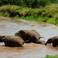 Elephants looking after their your crossing a dangerous river.Elephants looking after their your crossing a dangerous river. Cute Animal Videos, Funny Animal Pictures, Cute Funny Animals, Cute Baby Animals, Mother And Baby Animals, Nature Animals, Animals And Pets, Animals And Their Babies, Wild Life Animals