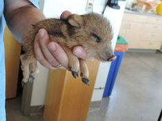 Baby Javelina ohhh wowww so cute!little...
