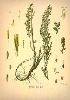 Artemisia Cina Berg., Wormseed or Santonica - Medicinal Botanical Plants