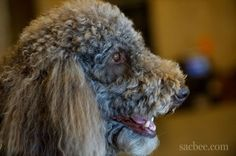 Reggie, a beautiful standard poodle who is a trained therapy dog, goes to work every day, comforting victims of violent crimes.